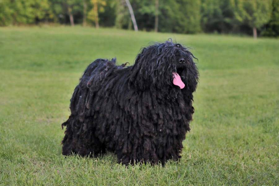 borzos puli pestimrei kennel